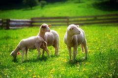 Little lambs grazing on a beautiful green meadow with dandelion. Royalty Free Stock Images