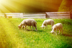 Little lambs grazing on a beautiful green meadow with dandelion. Royalty Free Stock Photography
