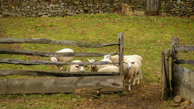 Little Lambs Royalty Free Stock Photo