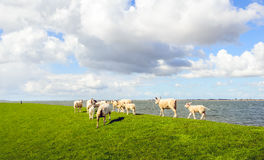 Little lambs and mature sheep walking away on an embankment Royalty Free Stock Images