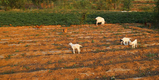 Little lambs. Mother sheep and little lambs are playing in the fields stock photography