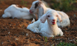 Little lambs Stock Photography