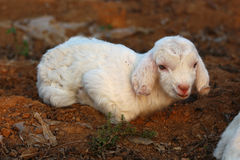 Little lambs. Are playing in the fields royalty free stock photos