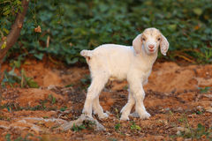 Little lambs. Are playing in the fields stock images