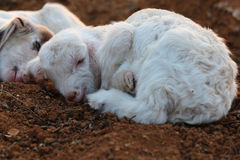 Little lambs Royalty Free Stock Images