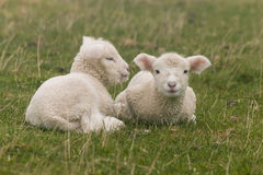 Little lambs resting on grass. Close up of two little lambs resting on grass stock photography