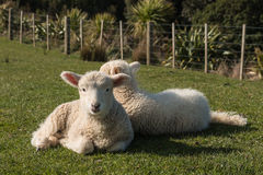 Little lambs resting on grass Stock Photo
