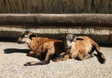 Little lambs. Two little, cute resting lambs royalty free stock images