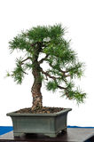 Little larch (Larix decidua) as bonsai tree Royalty Free Stock Image