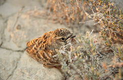 Little lark nestling Stock Images