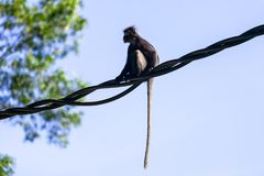Little leaf monkey or Dusky Langur in the rainforest. royalty free stock image