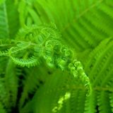 Little leaflet of Fern Macro royalty free stock photography