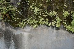 Plants on the concrete wall Royalty Free Stock Image