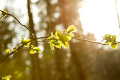 Little leaves on branch Royalty Free Stock Photography