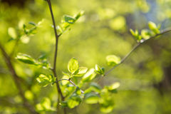 Little leaves on branch Stock Photography