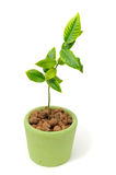 Little Lemon Tree in Pot Stock Images