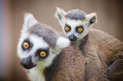 Little Lemur With His Mother Stock Images