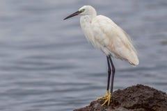 Little or Lesser Egret. A Little Egret aka Lesser Egret, standing on a rock beside Lake Victoria, Kenya Royalty Free Stock Images
