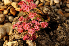 Little Lewisia in the stone Stock Photos