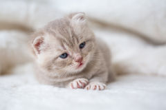 Little light lop-eared kitten with blue eyes on a fur mat royalty free stock photo