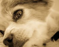 Close-up of dog`s eye and muzzle in monochrome royalty free stock photo