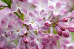 Little lilac blossoms blooming in spring Stock Image