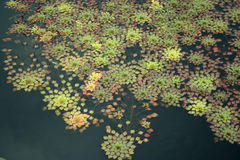 Little Lilies. An areal shot of a pond containing a bunch of green, yellow, purple, and orange very tiny water lilies, some forming star shapes Royalty Free Stock Image