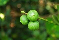 Little green lime on brunch. Little lime on top of branch in filed royalty free stock photo