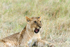 A little lion club grumbling Royalty Free Stock Image