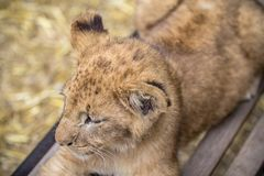 Lion cub on the bench. Little lion cub on the bench royalty free stock photos