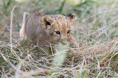 Little lion cub hunting in grass Royalty Free Stock Photography
