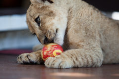 Little lion cub plaiying with a ball Stock Image