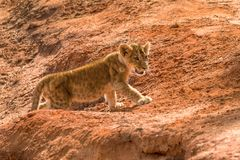 Lion cub in the savannah royalty free stock image