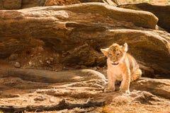 Lion cub in the savannah stock photo