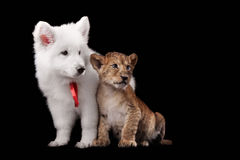 Little lion cub and puppy white Swiss Shepherd Stock Photos