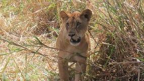 Little lion cub. stock images