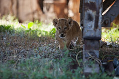 Little lion cub staring at you on hunt Stock Photos