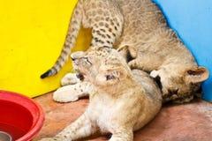 Little Lion Cub Stock Photos