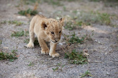 Little lion cub walking outdoors alone Stock Photos