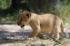 Little lion cub walking outdoors Stock Images