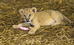 Little lion cub at the zoo. stock photos