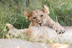 Little lion cubs playing Stock Images