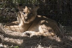 The little lion lies on a grass. Against the background of a lattice in a zoo Stock Photos