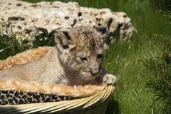 Little lioness in the basket. One-month aged lioness sits in the basket and looks to a grass Royalty Free Stock Photography