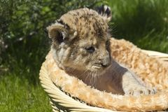 Little lioness in the basket. One-month aged lioness sits in the basket and looks to a grass Stock Image