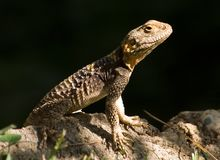 Little lizard. Lizard on stone in dark green Royalty Free Stock Images