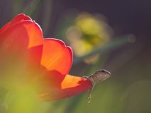 The little lizard. The small lizard is hid in the tulip Stock Photography