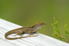 Little lizard in Everglades Stock Photography