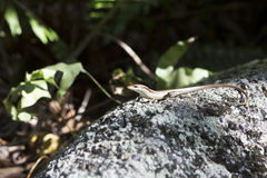 Little lizard basking on rock. Seychelles Stock Photos