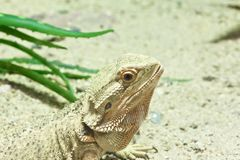 Little lizard, Bearded Dragons Stock Photos